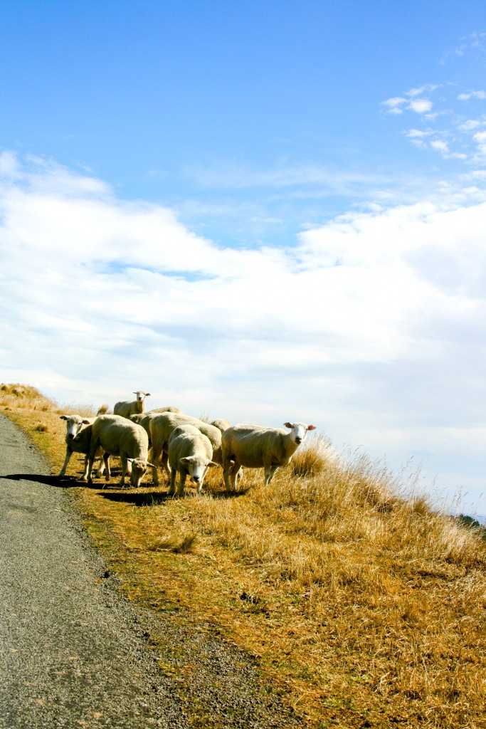 sheep in NZ