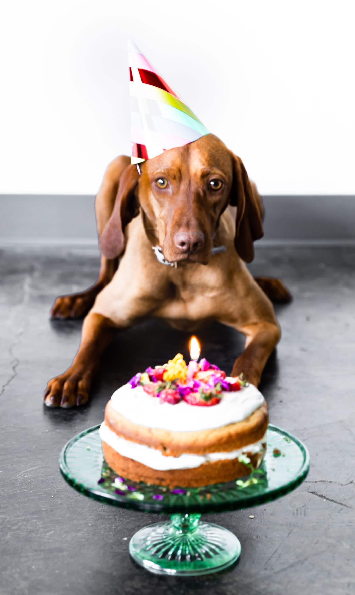 Vizla wearing a birthday hat lying down next to grain free birthday cake for dogs